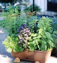 Ornamental Herbs