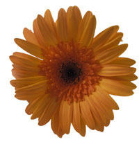 The gerber daisy