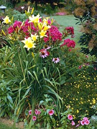twocolor_Yellow Daylilies With Fuschia Flowers