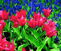 Red_Bright Pink Pointed Flowers With Bright Blue Flowers