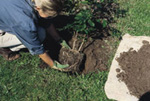 Planting container-grown trees and shrubs