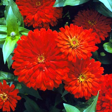 Bushy Red Mums Clustered In Closeup