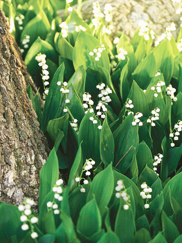 GardenWhite_Green thick leaves with very small white flowers