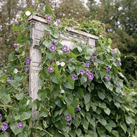 Window frame trellis with blue morning glory vine