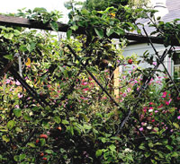Espalier plant support with wires in diamond pattern and covered with vine