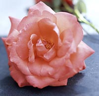 Pink rose blossom to be used in a flower bouquet