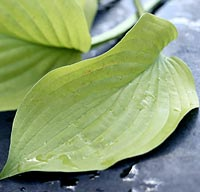 Hosta leaf to be used as a filler in a flower bouquet