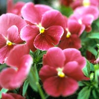 Clustered Pink Pansies