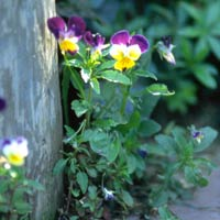 Multicolored Pansies Climbing Post