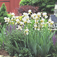 Bed of white bearded iris in a garden