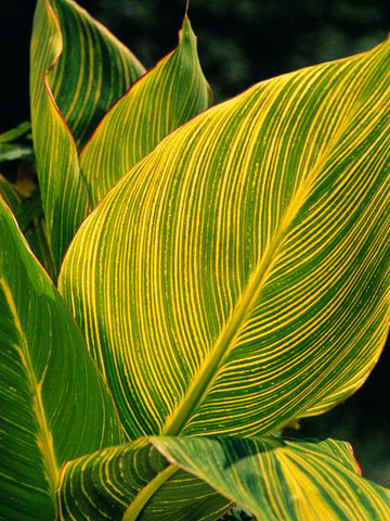 Canna leaf with prominent yellow ribs