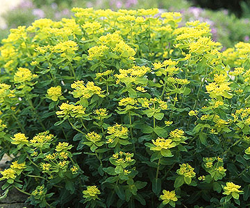 Lilyturf besides Landscaping Front Lawn Ideas Low Maintenance Throughout further Dianthus besides Rock Cress moreover Three Level House For Three Family. on drought resistant landscape ideas and plans