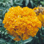 African marigold