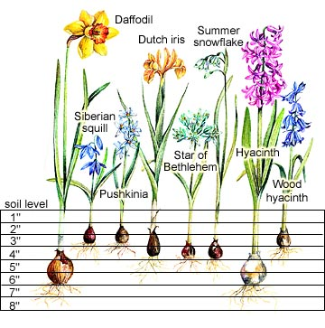Spring Bulb Planting Depth Chart Part 2 of 2