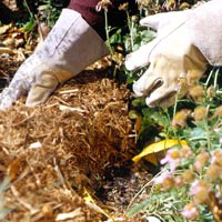 shredded bark mulch to protect mums in winter