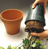 Remove Plant from Pot