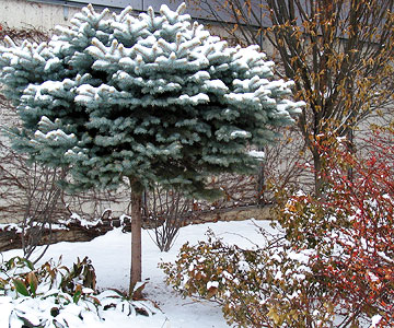 Colorado spruce grown in standard form