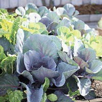 Cabbage plants growing in a raised bed.