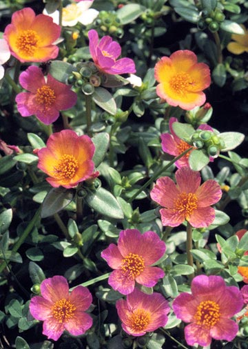 Moss rose