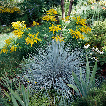 Blue oat grass for Low mounding ornamental grasses