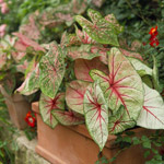 Caladium