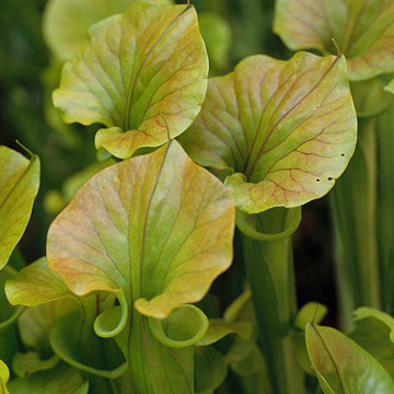 Pitcher plants are one of those cool carnivorous plants they can