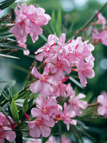 Oleander - Plant Encyclopedia - BHG.