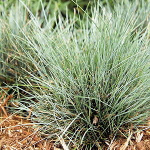 Ornamental grasses your garden care2 groups for Short ornamental grasses full sun