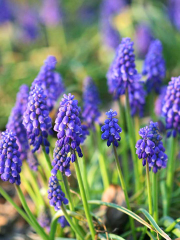 Grape Hyacinth Paint Color