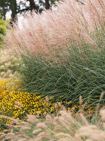 Miscanthus for Tall ornamental grasses for sun