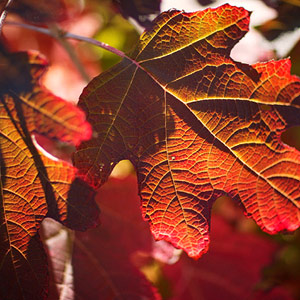 Oakleaf hydrangea is a reliable pick for fall color in the shade.