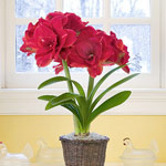 Amaryllis