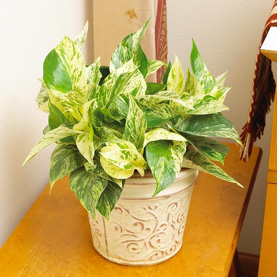 Types of ivy house plants for Plantas de interior resistentes