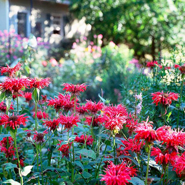 Bee balm