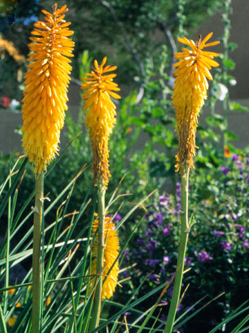 Red-hot poker