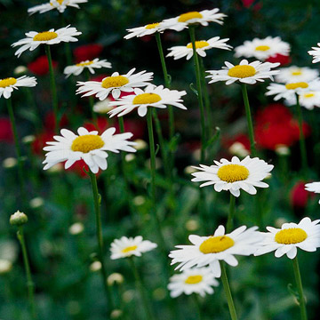 Flower Garden on Shasta Daisy   Plant Encyclopedia   Bhg Com