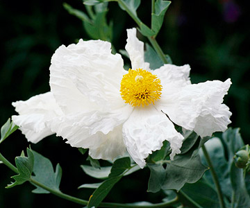 Matilija poppy