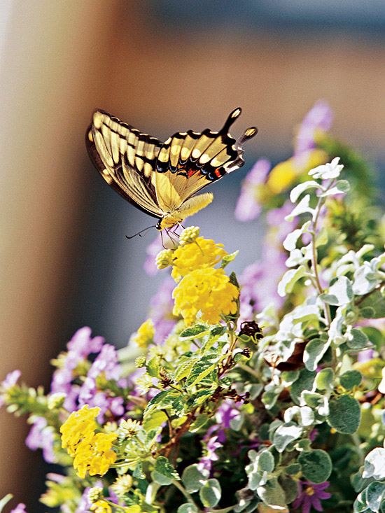 Butterfly Photo from Better Homes and Gardens