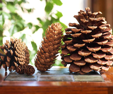 different sizes of pinecones lined up on a table