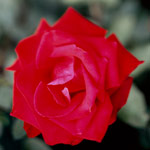 Hybrid tea rose