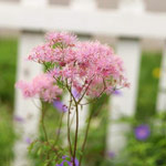 rue,meadow rue,thalictrum,perennials,growing perennials,how to grow perennials,flower garden,gardening,gardner,gardens,garden design,how to plan a garden,how to plant a garden,how to make a garden