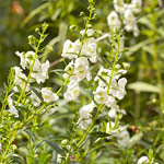Angelonia