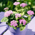 Ageratum
