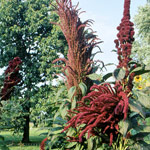 Amaranthus