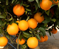 navel orange main image