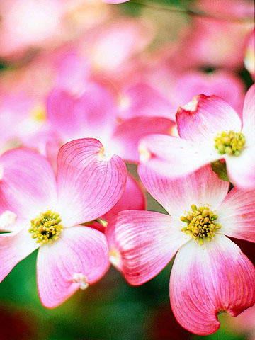 Dogwood Tree Care