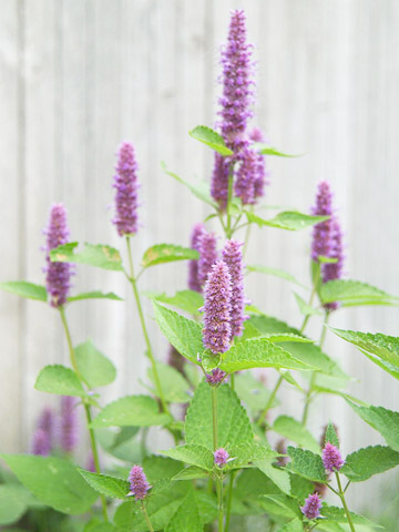Hyssop