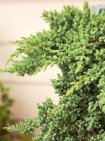Juniper - Plant Encyclopedia - BHG.