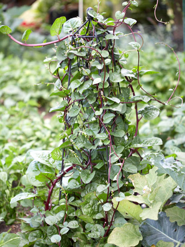Malabar spinach