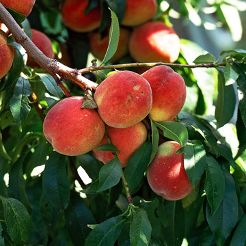 ... peaches are vigorous producers of plump delicious fruits peaches can